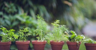 Gjashtë llojet e luleve që trembin mushkonjat